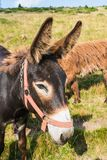 Brown hairy breed of donkey on a meadow, cute, long ears. Rural pasture in Romania, green grass Royalty Free Stock Photo