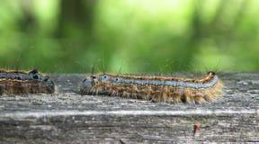 Brown   hairy caterpillar , Lithuania Royalty Free Stock Photos