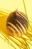 Brown hairy coconut in palm leaf silhouette pattern. Bright yellow background. Hard light harsh shadows. Creative food poster. Summer beach vacation fun royalty free stock image