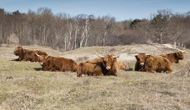 Galloways in nature in holland Royalty Free Stock Images