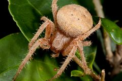 Brown hairy spider Royalty Free Stock Image