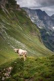 Brown halne krowy pasa na wysokogórskim paśniku fotografia stock