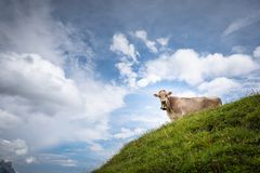 Brown halne krowy pasa na wysokogórskim paśniku fotografia royalty free