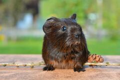 Brown Hamster Stock Images