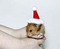 Brown hamster in the cap of Santa Claus Royalty Free Stock Photos