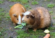 Brown Hamster Eating a Green Leaf Stock Photography