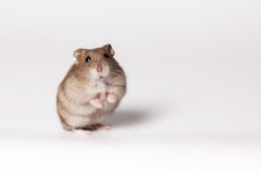 Brown hamster. With white belly standing on hind legs Royalty Free Stock Photography