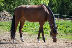 The brown Hanoverian horse in the bridle or snaffle on the pasture or grassland with the green background of trees an grass in the stock photography
