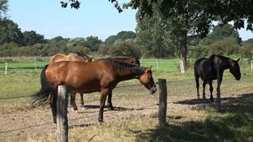 Brown Hanoverian horses grazing stock video footage