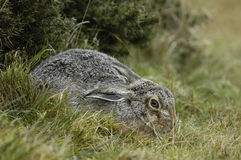 Brown Hare Stock Image