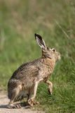 Brown hare Stock Images