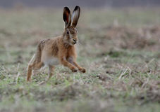 Free Brown Hare Royalty Free Stock Images - 20471979