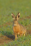 Brown hare. Sitting in a field Stock Photo