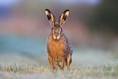 Brown hare. Hare (Lepus europaeus) sitting on frosted grass in morning sun royalty free stock photo