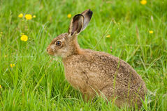 Brown Hare Royalty Free Stock Photos
