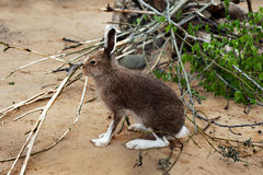 Brown Hare Royalty Free Stock Image