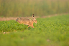 Brown Hare in Carrot Crop Stock Photo