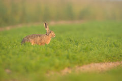 Brown Hare in Carrot Crop Royalty Free Stock Images