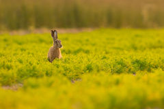 Brown Hare in Carrot Crop Royalty Free Stock Photo