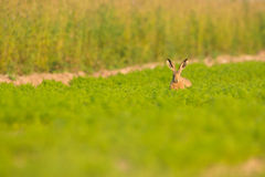 Brown Hare in Carrot Crop Stock Photos