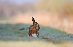 Brown hare cleaning it's toes Royalty Free Stock Photos