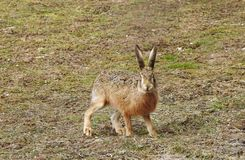 Brown Hare Close up with eye contact royalty free stock image