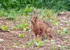 Brown Hare eating grasses. Royalty Free Stock Image