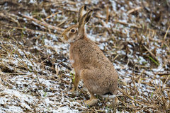 Brown hare European hare, Lepus europaeus royalty free stock photos