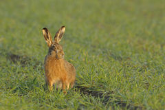 Brown hare in field. Sitting brown hare in the field Stock Photos