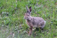 Brown hare in the field Royalty Free Stock Photo