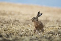 Brown hare in the field, Slovakia Royalty Free Stock Photos