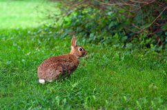 Brown hare in grass on meadow Stock Images