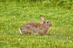 Brown Hare on Grass Royalty Free Stock Photo