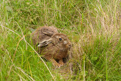 Brown Hare in its form Royalty Free Stock Photos