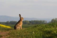 Brown hare (lepus europaeus). Sitting on a green balk Stock Photos