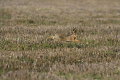 Brown hare, Lepus europaeus Stock Photo