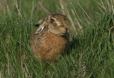 A Brown Hare, Lepus europaeus eating in a field of grass. Stock Images