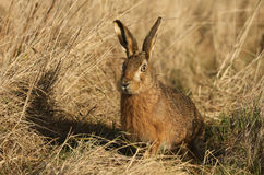 A Brown Hare, Lepus europaeus in a field of grass. A Brown Hare, Lepus europaeus in a field of grass in Kent on a sunny day Stock Photo