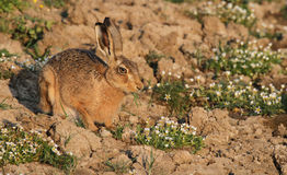 A Brown Hare, Lepus europaeus in a field with pretty flowers eating. Royalty Free Stock Photo