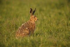 Brown hare, Lepus europaeus Royalty Free Stock Photo