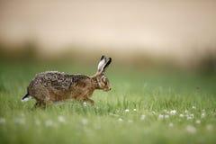 Brown hare, Lepus europaeus Royalty Free Stock Photos