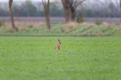 Brown hare  Lepus europaeus in green meadow with trees Royalty Free Stock Images