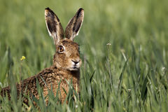 Brown hare, Lepus europaeus. Head shot of single mammal in grass, Midlands, April, 2011 royalty free stock image