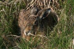 Brown Hare Lepus europaeus. Stock Photo