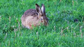Brown Hare, Lepus europaeus, resting and eating amidst long grass during early evening in the cairngorms NP, scotland. Brown Hare, Lepus europaeus, resting and stock video footage