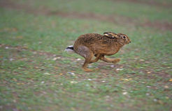 Brown hare, Lepus europaeus Royalty Free Stock Image