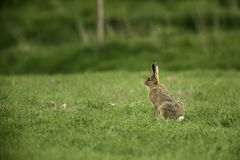 Brown hare, Lepus europaeus, Royalty Free Stock Photos