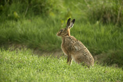 Brown hare, Lepus europaeus, Stock Photo