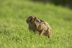 Brown hare, Lepus europaeus, Royalty Free Stock Image