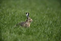 Brown hare, Lepus europaeus, Royalty Free Stock Photos